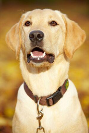 labrador teeth: Young Labrador Retriever in a fall park
