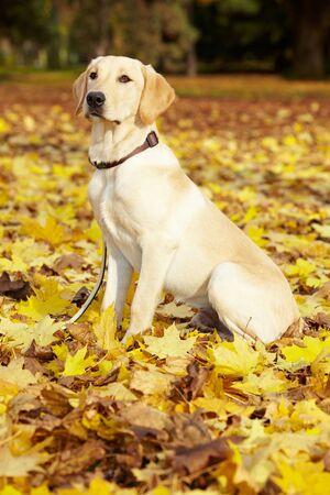 perro labrador: Young Labrador Retriever en un parque de caída