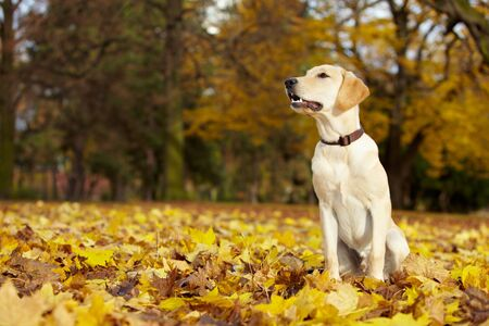 dog on leash: Young Labrador Retriever en un parque de ca�da