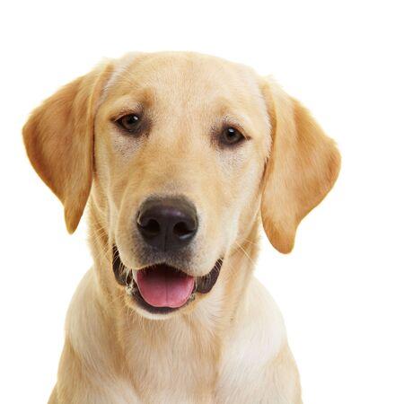 Retrato de un joven macho Labrador Retriever