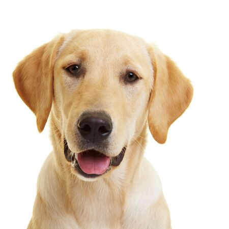 dog nose: Ritratto di un giovane maschio Labrador Retriever