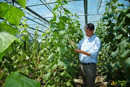 cultivation: Farmer checking cucumbers (Cucumis sativus) in a greenhouse