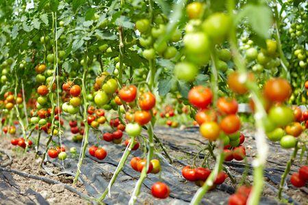 kassen: Veel organische tomatoe planten in een kas  Stockfoto