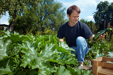 Young farmer harvesting courgettes in a vegetable garden photo