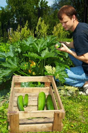 location shot: Young farmer harvesting courgettes in a vegetable garden