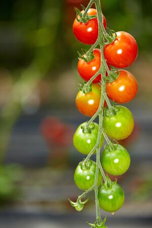 Many tomatoes in different colors in a greenhouse photo