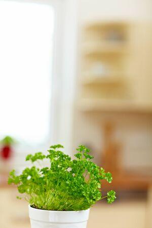 Parsley (Petroselinum crispum) in a pot in a kitchen photo