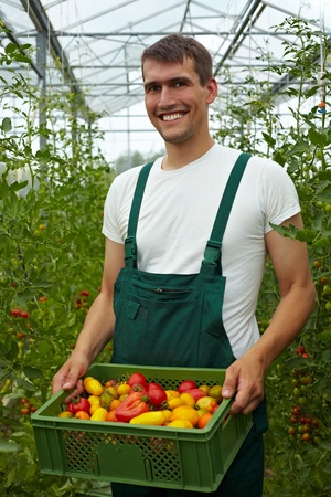 Happy organic farmer carrying tomatoes in a greenhouse photo