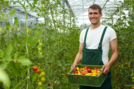 organic farming: Happy organic farmer carrying tomatoes in a greenhouse