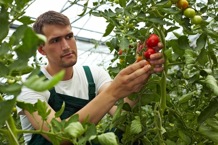 Organic farmer checking his tomatoes in a greenhouse photo