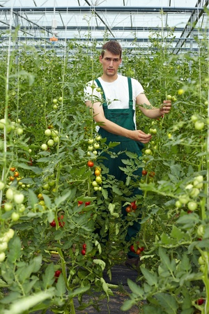 Organic farmer in greenhouse surrounded by tomato plants photo