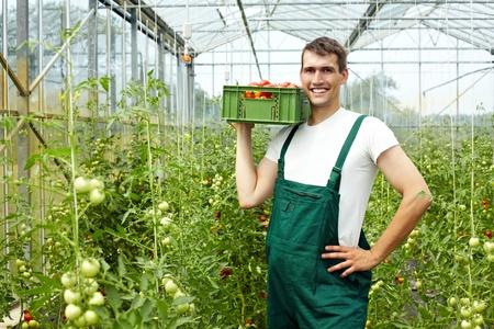 invernadero: Feliz agricultor ecológico cosecha de tomates en invernadero