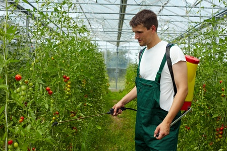 Organic farmer manuring tomato plants with backpack sprayer photo