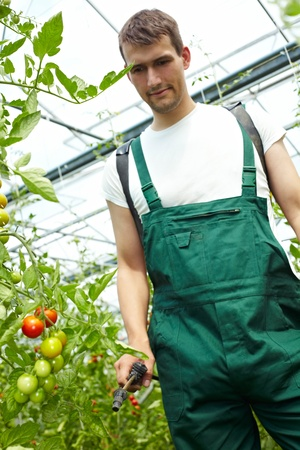 fungicide: Farmer manuring tomatoes with backpack sprayer in greenhouse