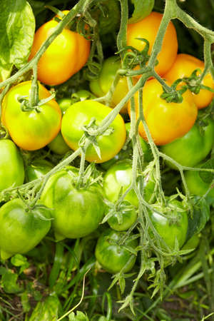 Tomato bush with breed called Lemon Tree in greenhouse photo