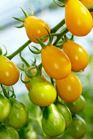 Organic tomatoes of the breed called Yellow Submarine photo