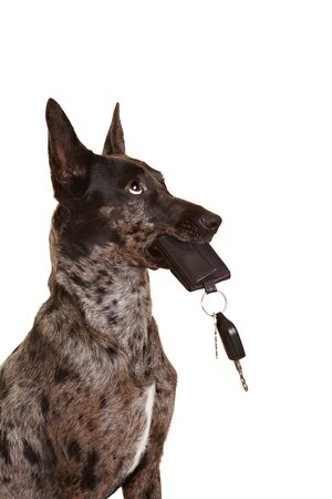 assistent: Dog with car keys in his muzzle mouth Stock Photo