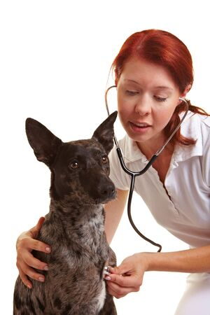 assistent: Female veterinarian examing dog with a stethoscope
