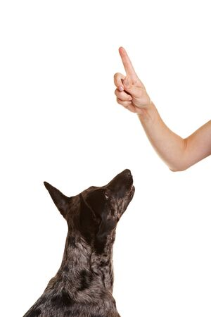 commands: Dog learning tricks looking up to index finger
