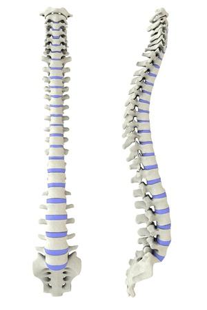 columna vertebral humana: Columna vertebral humana de un lado y de regreso en 3D con los discos intervertebrales marcada Foto de archivo