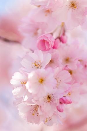fleurs de cerisiers: Romantique roses fleurs de cerisiers en fleurs dans un arbre