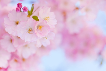 Bright pink cherry blossom background with light blue sky photo