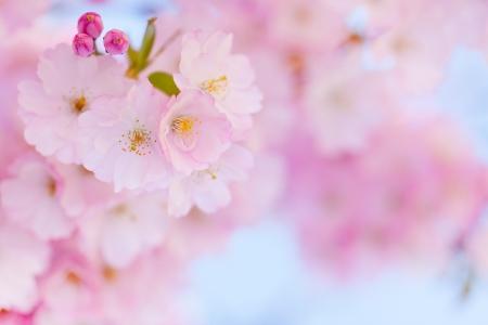 kersenbloesem: Heldere roze kersenbloesem achtergrond met lichte blauwe hemel