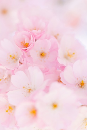 Bright pink cherry blossoms blooming on cherry tree photo