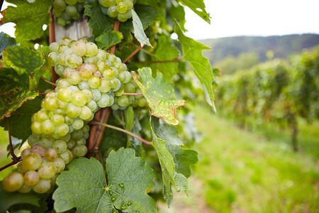 biological vineyard: Vineyard with riesling white wine grapes in Germany Stock Photo