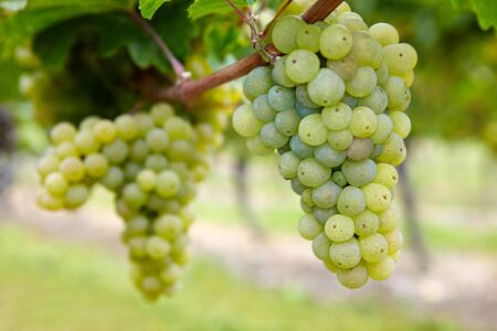 biological vineyard: Ripe Riesling white vine grapes in fall in Germany Stock Photo