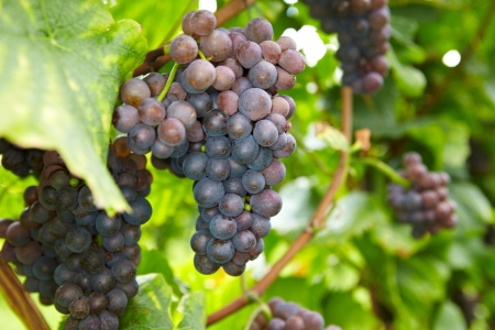 biological vineyard: Ripe grapes for red wine in a vineyard in Germany