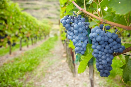 viniculture: Ripe vine grapes for red wine in vineyard in Germany