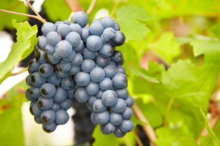 Maduras uvas de vino rojo en otoño en Alemania Foto de archivo - 17621397