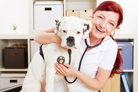 Happy veterinarian auscultating boxer dog with stethoscope in a clinic photo