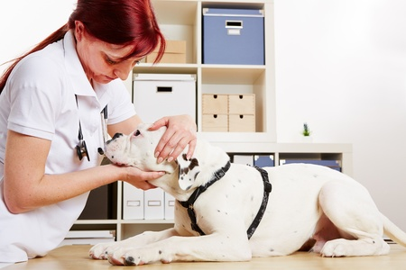 pangs: Veterinarian examing boxer dog in her animal clinic Stock Photo