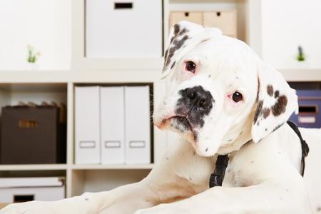 perro boxer: Perro boxer albino joven mirando curioso y atento Foto de archivo