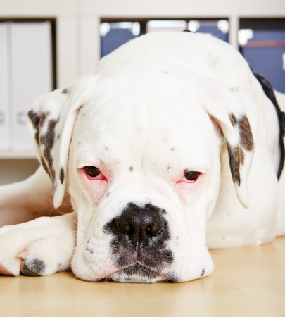 frontal view: Albino boxer dog looking sad into the camera Stock Photo