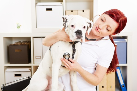 Veterinarian auscultating boxer dog with stethoscope in animal clinic photo