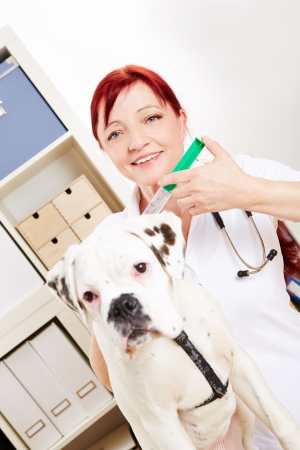 pangs: Veterinarian with boxer dog and syringe in her animal clinic