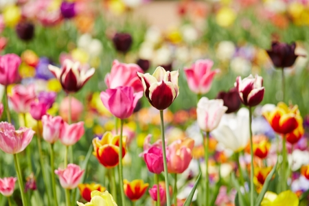 Many different colorful tulips blooming in a field Stock Photo - 19914567