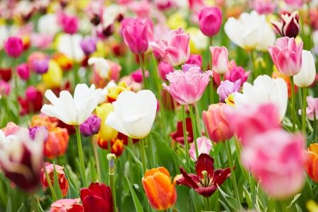 Background with many colorful flowers and different tulips Stock Photo - 19914573