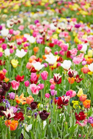 Many different colorful flowers and tulips blooming in a field Stock Photo - 19914575