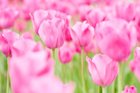 Many pink tulips blooming in spring in a field Stock Photo - 19856193