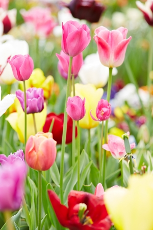 Some pink tulips blooming with other flowers in spring Stock Photo - 20233950