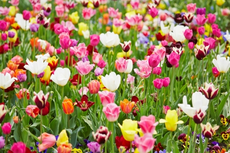 Background with different colorful tulips and flowers Stock Photo - 20233957