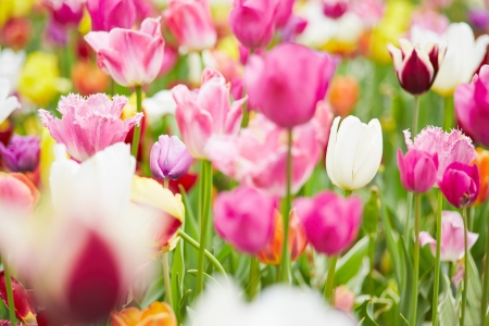 Many pink tulips and blooming flowers growing in field Stock Photo - 20233952