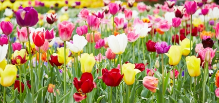 field of flowers: Different flowers and blooming tulips in panorama format Stock Photo