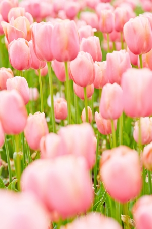 Many pink tulips blossoming in a garden in spring Stock Photo - 20233949