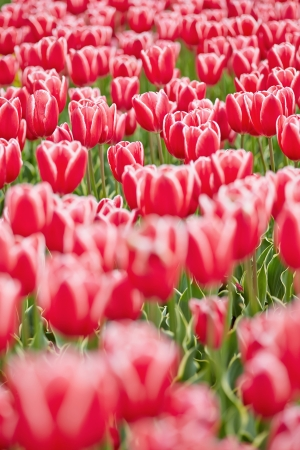 Red tulips blooming in a field in spring Stock Photo - 20233955