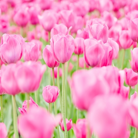 Field with many blooming pink tulips in spring Stock Photo - 20233953
